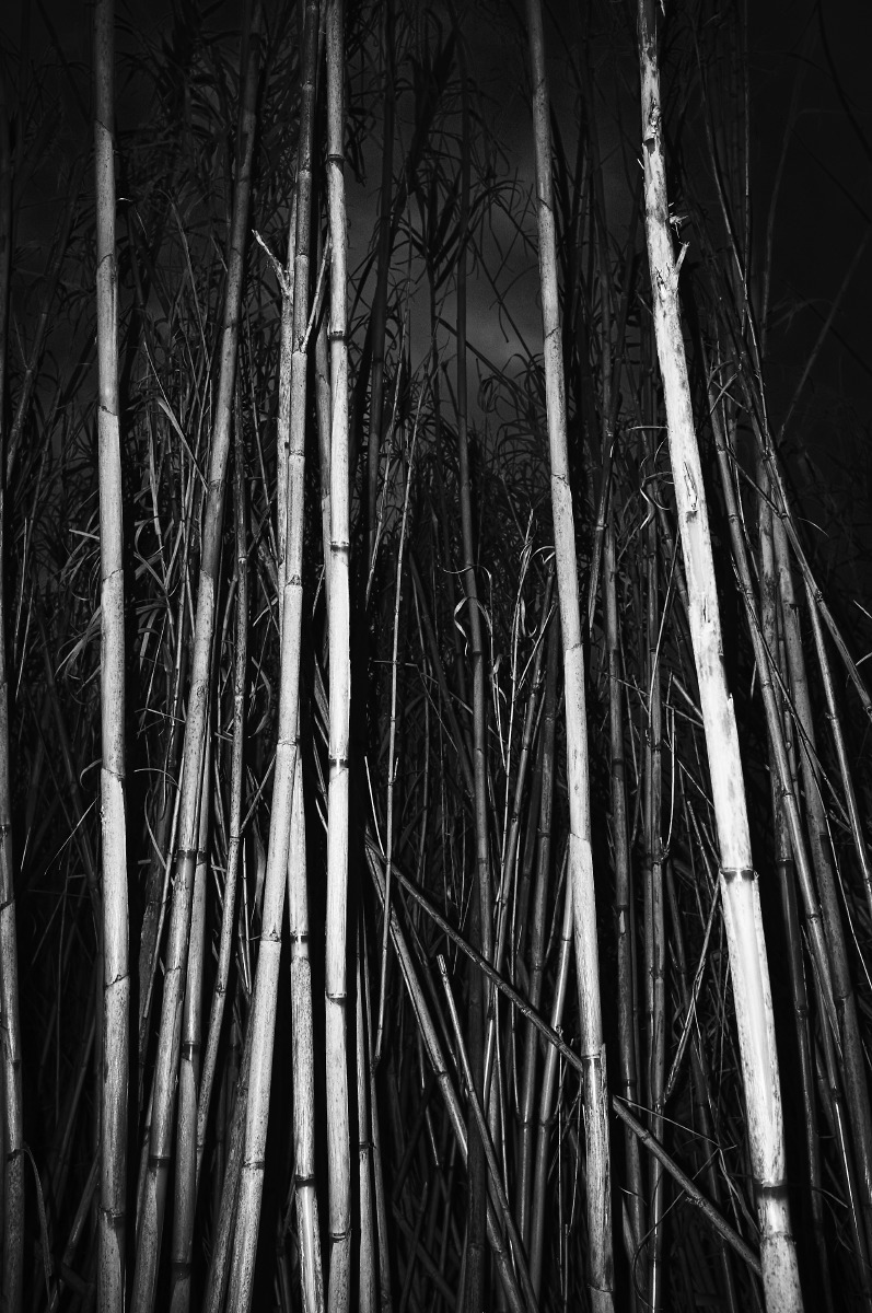 Bamboos south of France 2016 by Emmanuel Pineau